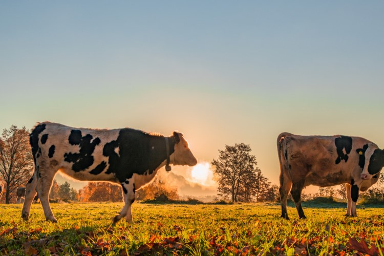 Cows On The Meadow In The Early Morning Sun Just After The Sunrise T20 Rlxldv