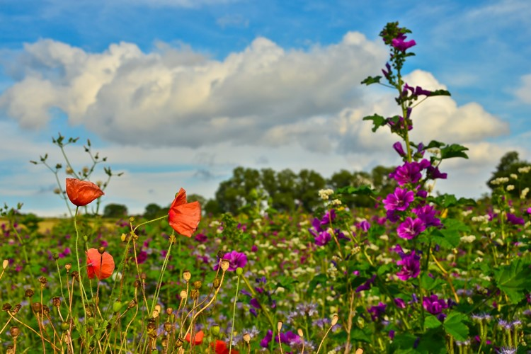 A Beautiful Meadow With Vibrant Wildflowers In Front Of A German Landscape Mallows Poppies And T20 A9rmw1